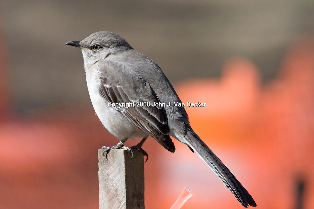 Northern Mockingbird standing on a construction fence Mimus polyglottos