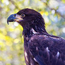 Immature bald eagles have mostly dark heads and tails; their brown wings and bodies are mottled with white in varying amounts. Young birds attain adult plumage in about five years.