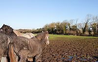 Horses in muddy field