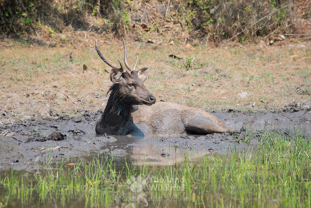 The sambar (Rusa unicolor) is a large deer native to the Indian subcontinent, southern China and Southeast Asia. Males seen here taking a mud bath to help control parasites.