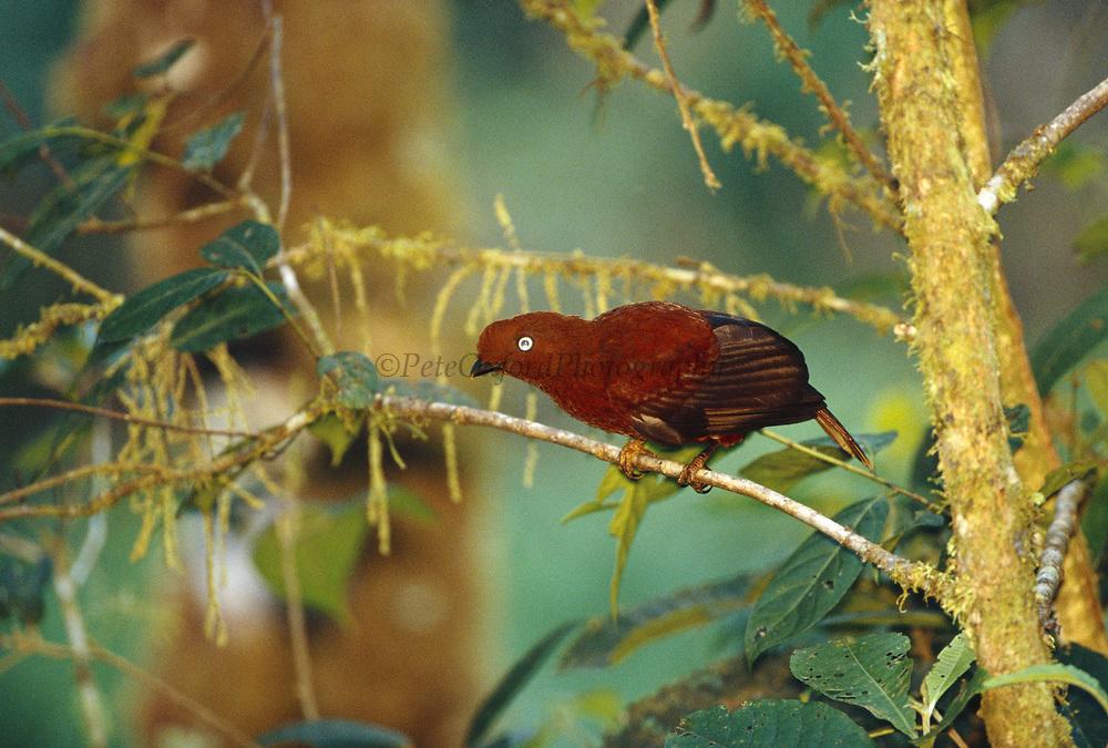 Andean Cock-of-the-Rock (female at lek)<br />Rupicola peruviana<br />Manu cloud Forest, PERU.  South America<br />Range: Andes of w Colombia, Ecuador, Venezuela & Peru