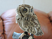 """Meet Zeus: The rescued Blind Owl With Stars in His Eyes<br /> <br /> Zeus came to his lifetime home at Wildlife Learning Center, in Los Angeles California, in the summer of 2012. He was found emaciated and blind in front of someone's house in Central California. A veterinary ophthalmologist thoroughly examined him, brought him back to health, and deemed him nonreleasable because he only has about 10% of his vision and would not be able survive in the wild on his own.<br /> <br /> Specifically he has been diagnosed with conjunctivitis, corneal degeneration, endotheliopathy, anterior uveitis (presumably from a traumatic event like flying into something or being attacked by a predator), his general condition is a capsular cataract, the white flecks that glisten in his eyes is caused by unique fibrin/blood pigment clots. These pigments cause a unique """"view of the Universe"""" quality in his eyes, for which he is well known, hence the name Zeus. He isn't in pain and appears to be healthy in every other way. He has his regular check up this Thursday.<br /> <br /> Zeus exudes a very peaceful presence and is very calm. He has a very big personality and exhibits a bit of a curious nature. WLC Cofounders, Paul Hahn and David Riherd, say they have never seen anything like this unique manifestation of pigment clots giving """"starry"""" appearing eyes in their 40+ combined years of working with rescued wildlife.<br /> <br /> Zeus enjoys perching either in his hollowed tree trunk or on top of it above Cofounder Paul's desk in the office at Wildlife Learning Center. He is so camouflaged most people don't notice him until we point him out. Many other people see him but believe he is a stuffed animal because he is so calm and peaceful. He sleeps a lot, as owls are crepuscular (mostly active at dawn and dusk). When he wakes and opens his eyes, people gasp. We have had people almost in tears when he reveals his peepers.<br /> <br /> People that meet him for the first time say it almost looks """