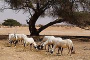 Arabische Oryx, Safari, Tierpark Chaj Bar / Hai-Bar Yotvata), Negev, Israel.|.Arabian Oryx, Safari, Animal and nature reserve Hai-Bar Yotvata, Negev, Israel.