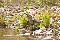 A male Northern Flicker takes a minute from looking for insects and visits the side of a stream for a drink of water.
