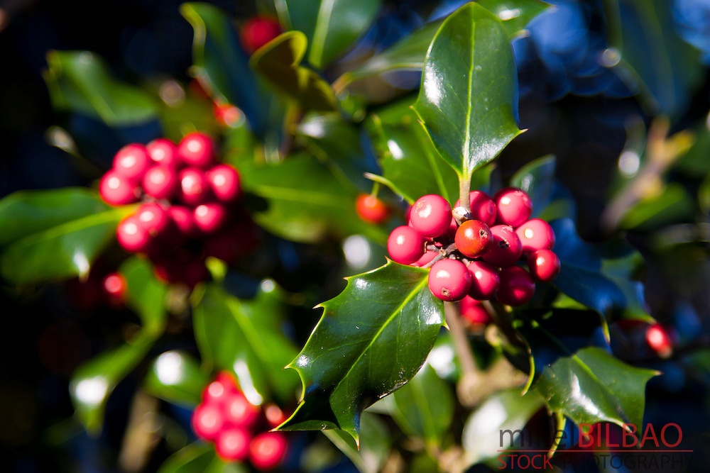 Holly or English holly (Ilex aquifolium) in fruits.<br />