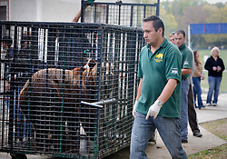 ROMANIA ONESTI 28OCT12 - A Eurasian  brown bear is transferred to a transport cage  at the Onesti zoo.....The bear was rescued from the decrepit Onesti Zoo where it lived for 8 years in degrading conditions and will be transported to the Zarnesti bear sanctuary.....jre/Photo by Jiri Rezac / WSPA......© Jiri Rezac 2012