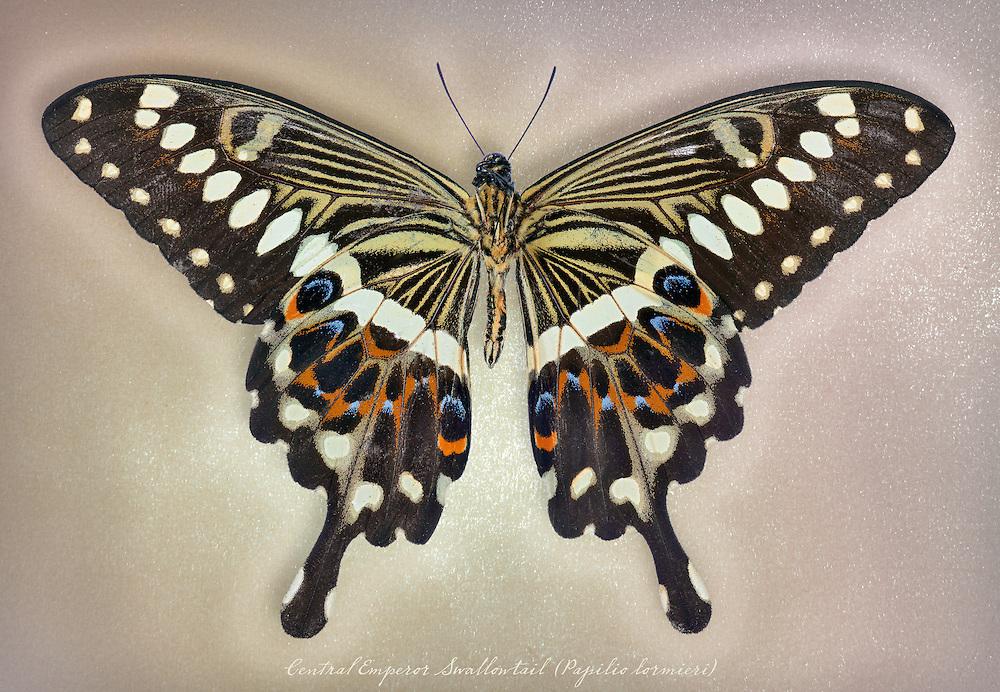 Central Emperor Swallowtail (Papilio lormieri) underside / #LPD188b
