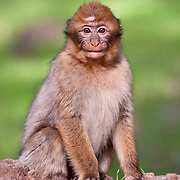 A Barbary Macaque, also known as a Barbary Ape (Macaca sylvanus), from the cedar forest of the Middle Atlas region of Morocco.