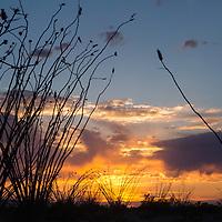 Ocotillo forest at sunset, Big Bend National Park, TX