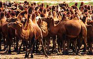 Mongolei, MNG, 2003: Kamel (Camelus bactrianus). Herde steht dicht gedrängt nebeneinander. Die Tiere sind in einer guten körperlichen Verfassung, sichtbar an den aufgerichteten Höckern. | Mongolia, MNG, 2003: Camel, Camelus bactrianus, herd standing closed together in a  good physical condition, noticeable at the upright standing humps, South Gobi. |