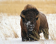 Bison are truly the tough guys of the Greater Yellowstone Ecosystem. Their warm coats insulate them during Yellowstone's frigid winters where temperatures can dip below minus 40 degrees Fahrenheit. Their coats have ten times as many hairs per square inch as domestic cattle, making them well suited to this harsh environment.