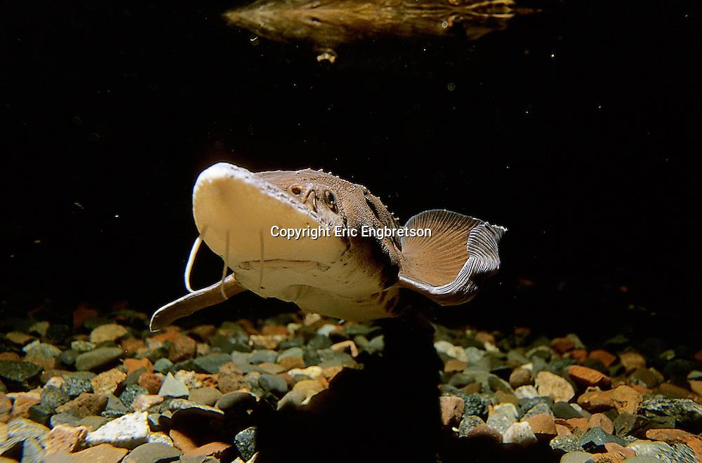 Lake Sturgeon<br /> <br /> ENGBRETSON UNDERWATER PHOTO