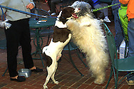 "A 8.9 MG IMAGE OF:..Pampered Pooches:  Happy Hour for dogs , ""Handel"" and English Sheep Dog and Luther, an English Pointer, say hello at happy Hour.  Photo by Dennis Brack"