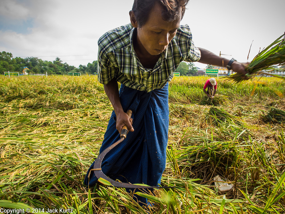 11 NOVEMBER 2014 - SITTWE, MYANMAR: A man harvests rice in a paddy on the edge of Sittwe, Myanmar. The rice was destined for the export market. Myanmar used to be the world's leading rice exporter when it was the British colony of Burma. Recent market and political reforms have reenergized the agricultural sector and Myanmar is once again becoming a serious player on the world rice markets.   PHOTO BY JACK KURTZ