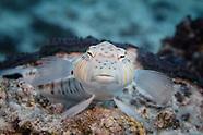 Parapercis hexophtalma (Speckled Sandperch)