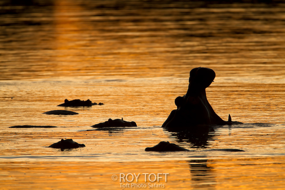 Silhouette of a group of hippopotamus in water, Zambia, Africa