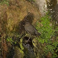 American dipper visiting nest along Hyalite Creek near Bozeman, Montana.