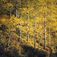 Golden autumnal birches, Delnabo Estate, Cairngom