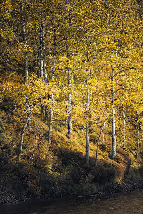 Golden autumnal birches, Delnabo Estate, Cairngom