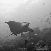 Ecuador, Galapagos Islands National Park,  Wolf Island, Underwater view of Spotted Eagle Rays (Aetobatus narinari) swimming