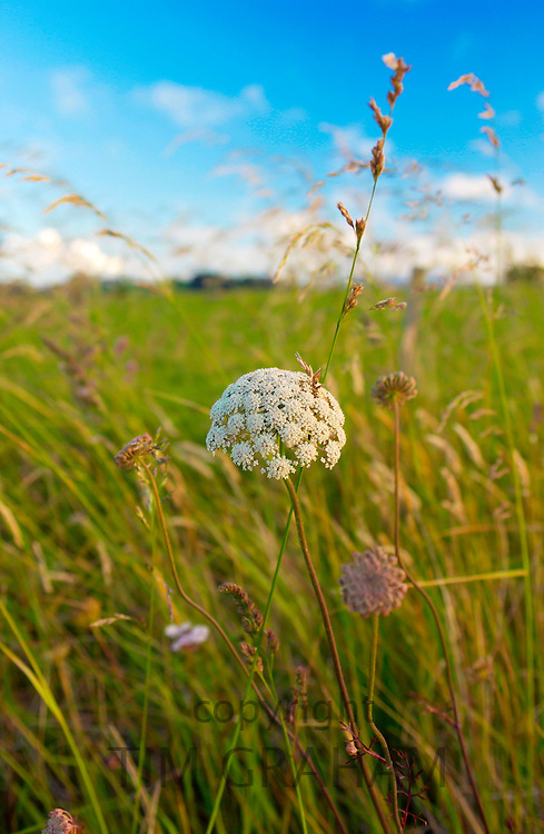 Wild flowers in meadow, North Island, New Zealand