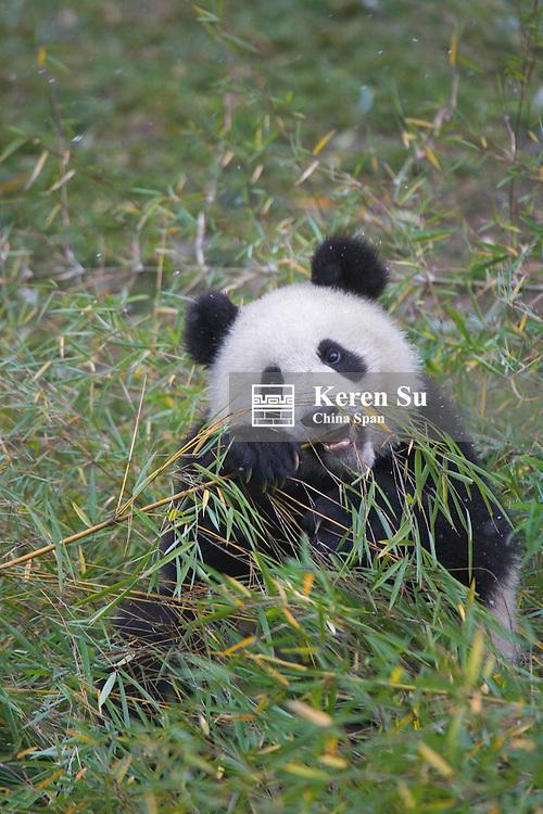 Giant panda eating bamboo, Wolong Panda Reserve, Sichuan, china