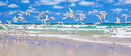 Crested Terns taking off from 75 Mile Beach on Fraser Island (Australia)