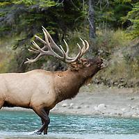elk bugling while crossing creek