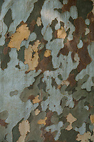 Camouflage tree bark texture found on a tree in Minusio,  Ticino, Southern Switzerland.