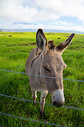 Donkey, Ranch Land , Waimea, Kamuela, Island of Hawaii