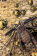 Tailless Whip Scorpion<br />Adenatus sp.<br />Yasuni National Park,  Amazon Rain Forest, ECUADOR<br />South America