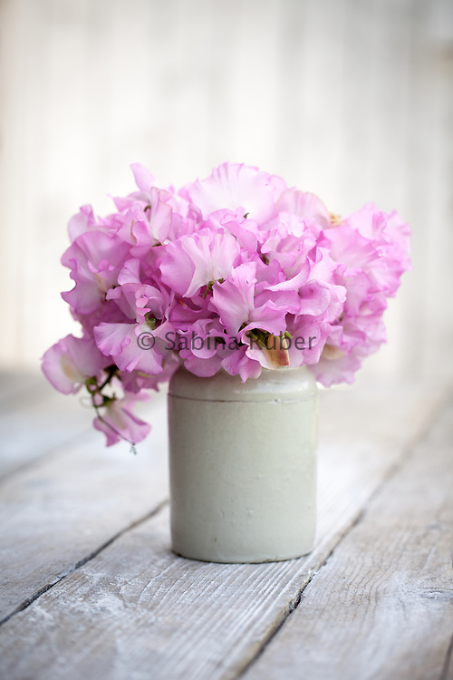 Lathyrus odoratus 'Gwendoline' - sweet pea arrangement in small earthenware jar