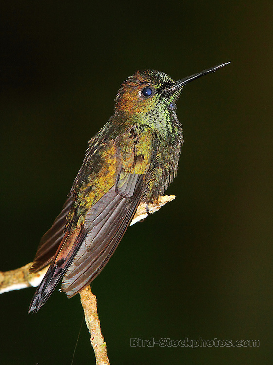 Green-crowned Brilliant, Heliodoxa jacula, on branch, Anori, Colombia, by Adam Riley