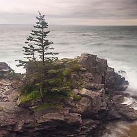 A lone pine stands against the wind and storms, Gullivers Hole, Lubec, Maine
