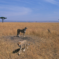 Africa, Kenya, Masai Mara Game Reserve, Young Cheetah cubs (Acinonyx jubatas) walking through short grass on savanna