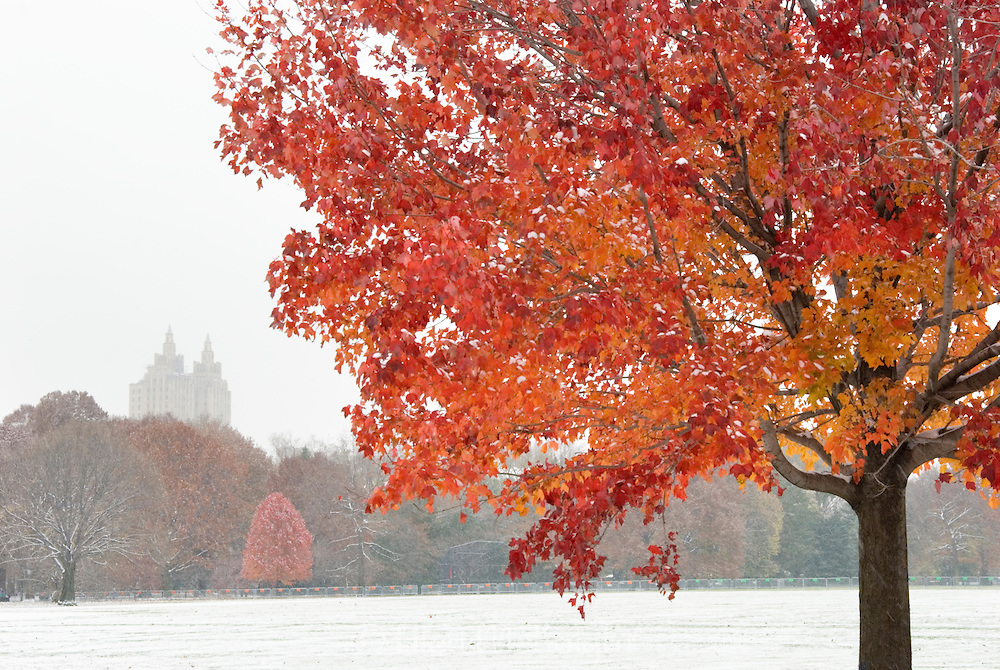 A red maple tree at the Great Lawn in Central Park is still in full color during an early snowfall. The towers of the El Dorado building are in the background.