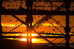 © Licensed to London News Pictures. 4/12/2016. Caberystwyth, Wales, UK. As the sun sets dramatically into an orange sky over Cardigan Bay on another bitterly cold evening flocks of  starlings fly in from their daytime feeding grounds to perch on Aberystwyth pier on the coast of west Wales. At dusk every night in the autumn and winter, tens of thousands of the birds gather to roost together safely overnight on the latticework of cast iron legs underneath the Victorian  seaside pier . While plentiful in Aberystwyth , starling numbers have declined by over 66% since the 1970's and the birds are on the RSPB's  at-risk 'red list'  for highest conservation priority, with the species needing urgent action. Photo credit: Keith Morris/LNP