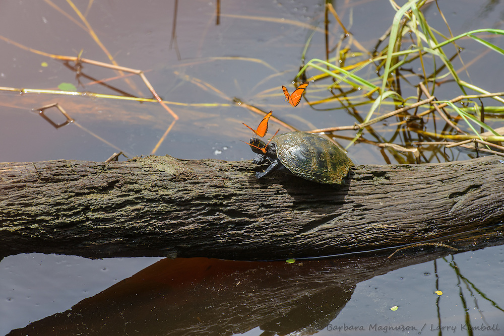 Yellow-spotted Sideneck Turtle [Podocnemis unifilis] with Julia Butterfly [Dryas julia] feeding on minerals in turtle's eye tears; Laguna Anangucocha, Napo Wildlife Center, Yasuni National Park, Ecuador
