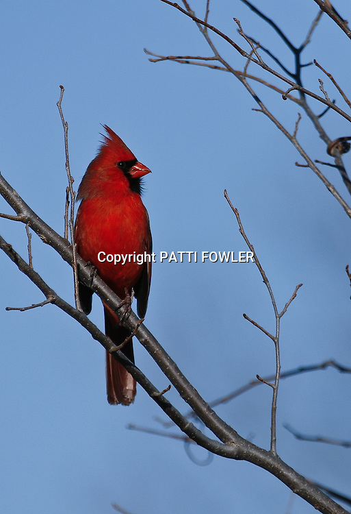 Male cardinal with blue sky background