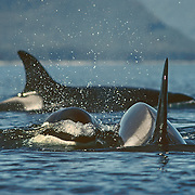 "Encountering orcas was a much rarer event than being with the humpback whales in Southeast Alaska so I always viewed it a special treat and a bonus for the summer. I always felt like I had to shift up into a much higher gear with the faster swimming orcas, and I usually knew that something out of the ordinary was going to happen. Most of pods of orcas I encountered were small transient pods specializing in hunting for marine mammals. On this occasion I was able to paddle many miles with a very large pod of at least 30 individuals that spanned the width of Chatham Strait. It was a beautiful, sunny day and the sea was calm without a puff of wind, which always makes it a bit easier to keep up with them. They appeared to be hunting for salmon by corralling them judging from the way their speed and direction changed periodically. It's fascinating listening to the extensive chatter of orcas; they are much more vocal than the humpbacks and can produce a great range of sounds from clicks, squeals and whistles to what sounds like someone knocking on a door. The most memorable thing that happened on this day involved some young calves, which like the humpback calves were very inquisitive about me. I had just stopped for a rest and was observing the behavior of some of the orcas swimming past. Suddenly two calves popped their shiny black heads out of the water right next to the cockpit of my kayak! They were chattering away at me with their squealing and whistling, and after greeting them with a very surprised ""hello', my next instinct was to pat them on the head like puppies, but they disappeared before I had the chance to do that. <br />