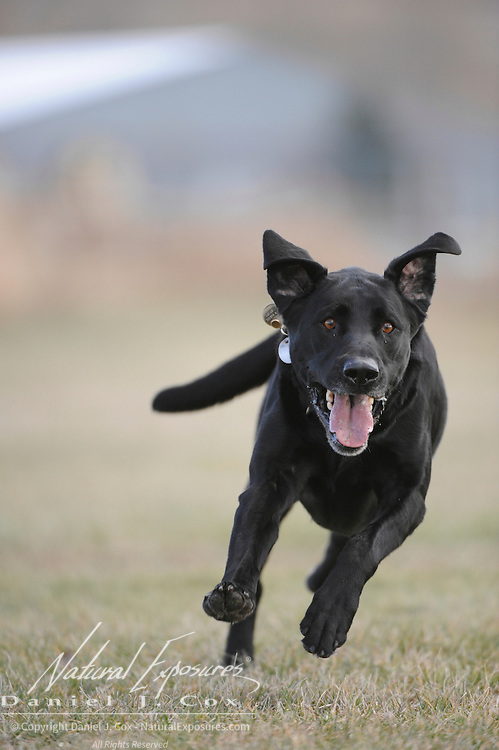 A black lab running to fetch a tennis ball. Montana