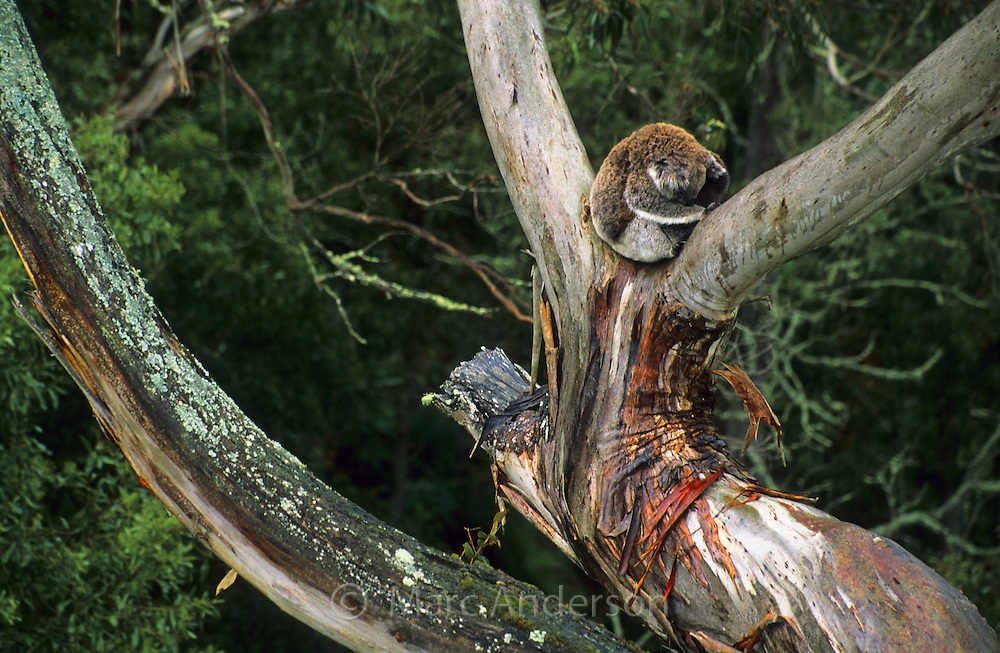 A Koala sitting in a Eucalyptus tree, Mount Eccles National Park, Australia.