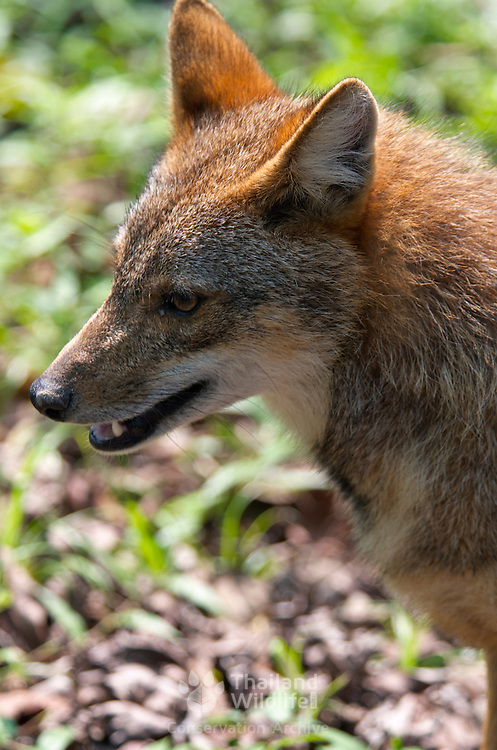 A wild golden, or Asian, jackal, C. aureus in Huai Kha Khaeng Wildlife Sanctuary in Thailand.