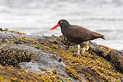 Blackish Oystercatcher (Haematopus ater) on the shoreline, Carcass Island, Falkland Islands