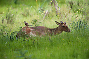 Fallow Deer (Dama dama) & Azure-winged Magpie (Cyanopica cyana)<br /> Only the bucks have antlers. They are grazing mammals preferring habitat of mixed woodlanda nd open grassland. Usually found in herds.<br /> Sierra de Andújar Natural Park, Mediterranean woodland of Sierra Morena, north east Jaén Province, Andalusia. SPAIN<br /> <br /> Mission: Iberian Lynx, May 2009<br /> © Pete Oxford / Wild Wonders of Europe<br /> Zaldumbide #506 y Toledo<br /> La Floresta, Quito. ECUADOR<br /> South America<br /> Tel: 593-2-2226958<br /> e-mail: pete@peteoxford.com<br /> www.peteoxford.com