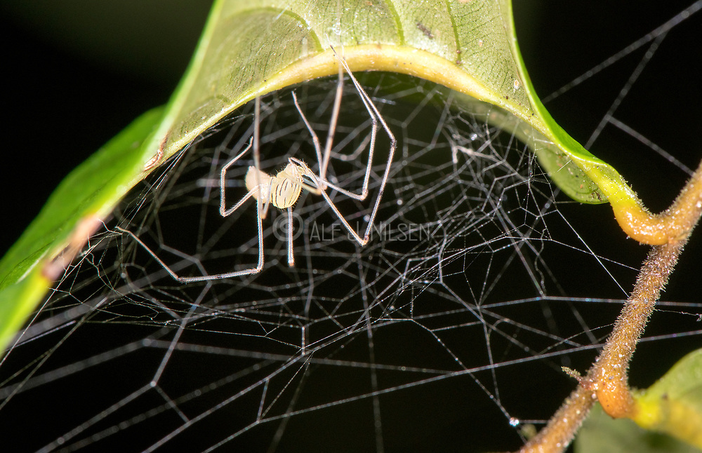 Small, unidentified spider from Kubah National Park, Sarawak, Borneo.