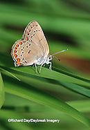 03152-003.06 Coral Hairstreak (Satyrium titus) on grass, Sand Prairie-Scrub Oak Nature Preserve, Mason Co. IL