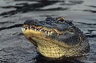 Vereinigte Staaten von Amerika, USA, Florida: amerikanischer Mississippi-Alligator (Alligator mississippiensis). Kopf eines Alligators schaut aus dem Wasser heraus. | United States of America, USA, Florida: American Alligator, Alligator mississippiensis, head of an Alligator looking out of the water. |