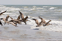 Pelicans at South Padre Island, Texas