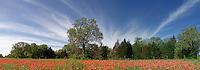 Indian Paintbrush (Castielleja indivisa), Lee County, Texas